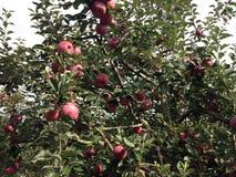 Fruktträdgård för Apple träd Royaltyfri Bild