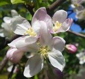 Fruktträdgård för körsbärsröd blomning på våren Royaltyfri Fotografi