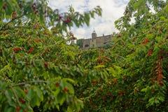 Fruktträdgård för körsbärsrött träd i Menerbes fotografering för bildbyråer