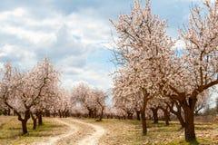 Fruktträdgård för mandelträd Arkivbilder