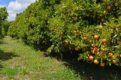 Fruktträdgård för orange träd med mogen frukt Arkivfoton