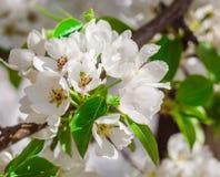 Fruktträdgård för vita blommor för Apple trädfilialer Fotografering för Bildbyråer