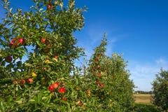 Fruktträdgård med äppleträd i ett fält arkivfoton