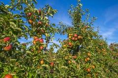 Fruktträdgård med äppleträd i ett fält arkivbild