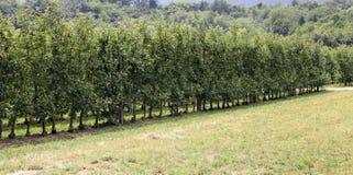Fruktträdgård med Apple träd i bergen Arkivbilder