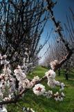 Fruktträdgård med blomningträd Royaltyfri Foto