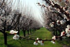 Fruktträdgård med blomningträd Arkivfoton
