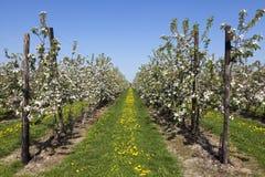 Fruktträdgård med fruktträd i blomning royaltyfri fotografi