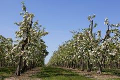Fruktträdgård med fruktträd i blomning Fotografering för Bildbyråer
