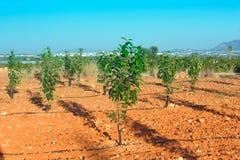 Fruktträdgård med unga persimonträd Arkivfoto