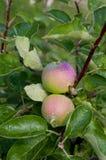 fruktträdgård trees för leaves en för äpple oisolerade fulla Växande organiska äpplen Arkivbilder