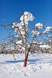 Fruktträdgård under snow Arkivbilder