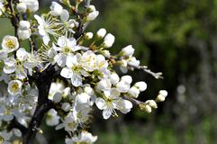 Fruktträdgården fattar i blomning Royaltyfri Bild