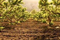 Fruktträdgårdljus Fotografering för Bildbyråer