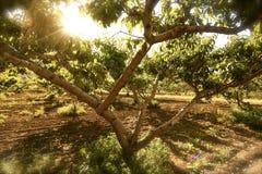 Fruktträdgårdljus Arkivbild