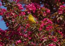 Fruktträdgårdoriole med rosa blomningar Arkivfoton