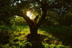 fruktträdgårdsilhouette royaltyfri foto