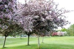 Fruktträdgårdträd med vårfärg Royaltyfri Foto