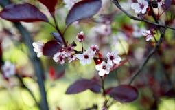 Fruktträdgårdträd med vårfärg Fotografering för Bildbyråer