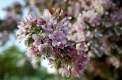 Fruktträdgårdträd med vårfärg Royaltyfria Bilder