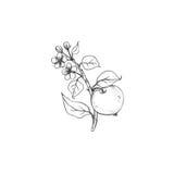 Fruktträdfilial med blommor, sidor och äpplen Fotografering för Bildbyråer