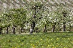 fruktträdgårdar Arkivfoton