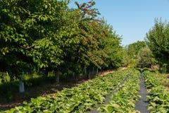 Fruktträdgården med körsbär och jordgubbar Arkivbilder