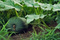 fruktväxtpumpa Arkivbilder