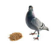 Frumenti e piccione immagini stock