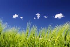 frumento blu del cielo di verde del campo Fotografia Stock