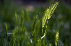 Frumento, crescente selvaggio su un prato in primavera Immagine Stock Libera da Diritti