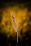 Frumento dei granuli di cereale Immagini Stock Libere da Diritti