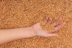 Frumento del raccolto Fotografia Stock