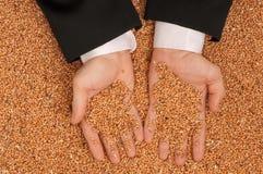 Frumento del raccolto Immagine Stock Libera da Diritti