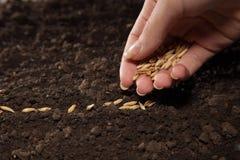 Frumento della semina Immagine Stock