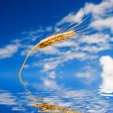 Frumento dorato nel cielo blu Fotografia Stock