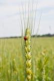 Frumento e ladybug Immagine Stock