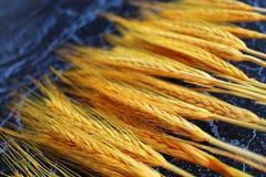 Frumento giallo Fotografie Stock Libere da Diritti