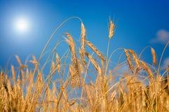 Frumento meraviglioso e maturo contro la priorità bassa del cielo blu. Immagine Stock Libera da Diritti