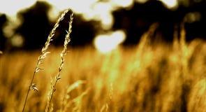 Frumento nel campo Immagini Stock Libere da Diritti