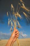 Frumento nelle mani Fotografia Stock Libera da Diritti