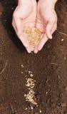 frumento a terra del granulo Fotografie Stock Libere da Diritti