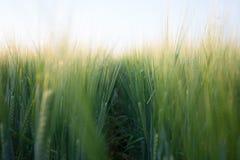 Frumento verde Fotografie Stock Libere da Diritti