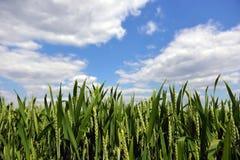Frumento verde Fotografia Stock Libera da Diritti