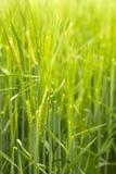 Frumento verde Immagine Stock