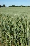 Frumento verde Immagini Stock