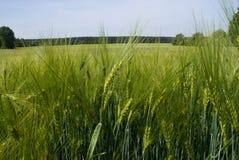 frumento verde del campo fotografia stock