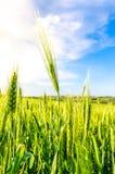 Frumento verde di estate Fotografie Stock Libere da Diritti