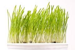 Grano primaverile verde fresco in un vaso Immagine Stock