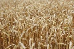 Frumento vicino in su sul campo dell'azienda agricola Immagini Stock